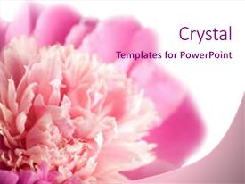 Presentation design having abstract flowers - macro shot of pink peony background and a pink colored foreground.