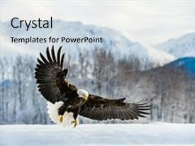 Slide deck with alaska - adult bald eagle haliaeetus leucocephalus background and a light gray colored foreground.