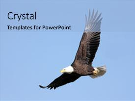 Colorful PPT theme enhanced with adult bald eagle haliaeetus leucocephalus backdrop and a light blue colored foreground.
