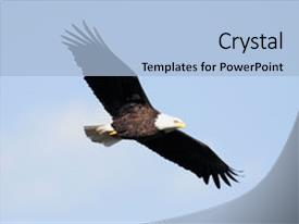 Amazing PPT layouts having adult bald eagle haliaeetus leucocephalus backdrop and a light blue colored foreground.