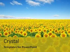 Amazing slide deck having agriculture - sunflowers field on sky background backdrop and a gold colored foreground