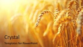 Presentation theme enhanced with agriculture - wheat field ears of golden background and a gold colored foreground