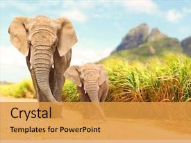 Audience pleasing PPT layouts consisting of animal - african bush elephants - loxodonta backdrop and a gold colored foreground