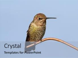 Audience pleasing theme consisting of animal - annas hummingbird calypte anna backdrop and a light blue colored foreground.