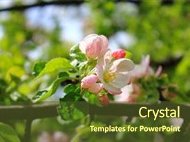 Presentation featuring apple trees are blooming pink background and a tawny brown colored foreground.