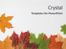 Presentation theme having autumn composition frame made of autumn maple leaves copy space flat lay top view background and a white colored foreground.