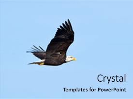 Slide deck having bald eagle bald eagle haliaeetus leucocephalus is a bird of prey found in north america background and a light blue colored foreground.