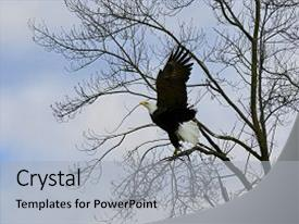 Theme consisting of bald eagle landing in tree background and a light gray colored foreground.