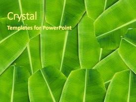 5000 banana leaves powerpoint templates w banana leaves themed