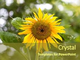 Beautiful slide set featuring beautiful yellow sunflower on nature backdrop and a tawny brown colored foreground