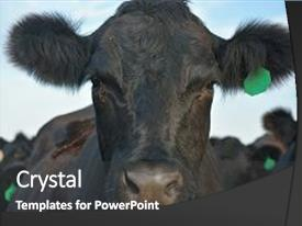 PPT theme with black angus cow stands background and a dark gray colored foreground.