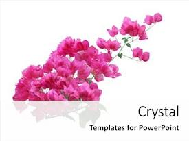PPT layouts having blooming pink bougainvillea flower branch background and a white colored foreground