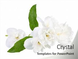 Slide deck featuring floral green - branch of jasmine flowers isolated background and a white colored foreground.