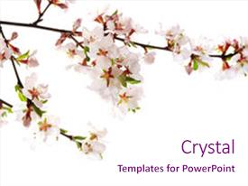 Theme having branch with pink cherry blossoms background and a pink colored foreground.