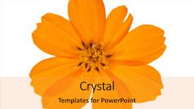 Amazing slides having bright orange flower isolated on white background backdrop and a gold colored foreground