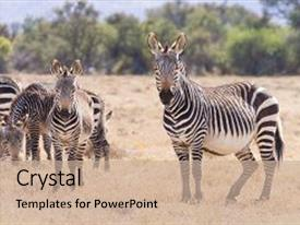 5000 zebra powerpoint templates w zebra themed backgrounds presentation featuring cape mountain zebra from mountain background and a coral colored foreground toneelgroepblik Images