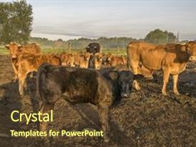 PPT layouts consisting of cattle limusiine meat calves and young cows in the yard background and a  colored foreground.