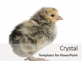 Audience pleasing presentation consisting of chick 2 days old in front of white background studio shot backdrop and a light gray colored foreground.
