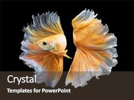 Presentation theme featuring close up art movement of betta fishsiamese fighting fish isolated on black background fine art design concept background and a tawny brown colored foreground.