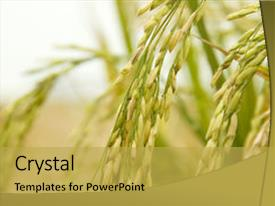 5000 rice plant powerpoint templates w rice plant themed backgrounds beautiful ppt layouts featuring close up of paddy rice backdrop and a yellow colored foreground toneelgroepblik Gallery