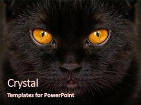 Beautiful PPT layouts featuring close-up serious black cat backdrop and a wine colored foreground.