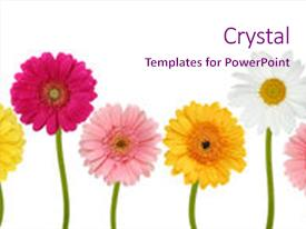 Audience pleasing slide deck consisting of colorful flowers isolated backdrop and a pink colored foreground.