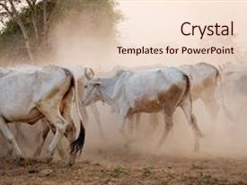 Cool new PPT layouts with cows walking on dusty road backdrop and a lemonade colored foreground.