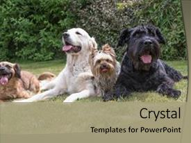 Slide deck featuring tongue - crossbreed dog giant black schnauzer background and a mint green colored foreground.