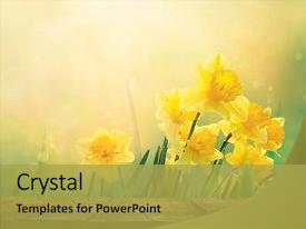 PPT theme featuring daffodil floral spring background easter background and a yellow colored foreground.