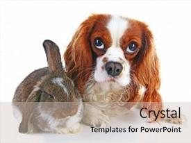 Colorful presentation theme enhanced with dog and rabbit together animal friends rabbit bunny pet white fox rex satin real live lop widder nhd german dwarf dutch with cavalier king charles spaniel dog animals together christmas valentines day pet concept cute backdrop and a  colored foreground.