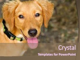 Slide deck featuring tongue - dog happy is a closeup background and a violet colored foreground.