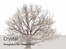Slides with white tree isolated botanical background and a light gray colored foreground.