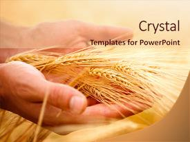 PPT layouts having ears in the hands harvest background and a lemonade colored foreground.