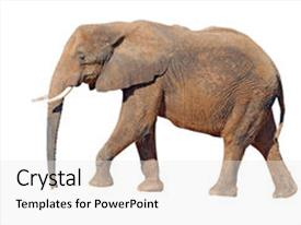 PPT theme enhanced with elephant isolated on white background with clipping path background and a white colored foreground