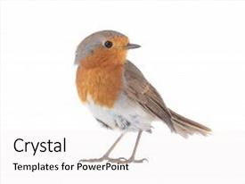 Theme featuring animal - european robin erithacus rubecula isolated background and a white colored foreground.