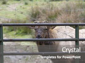 Cool new presentation with animal - farm raised elk backdrop and a gray colored foreground.