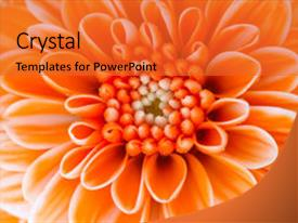 Colorful PPT theme enhanced with floral bouquet - close-up of an orange flower backdrop and a red colored foreground.