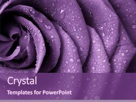 Theme enhanced with flower - close up of violet rose background and a violet colored foreground