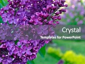 Amazing presentation theme having flower background - lilac flowers backdrop and a gray colored foreground.