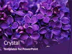Presentation theme featuring floral - flowers of blooming lilac spring background and a violet colored foreground.