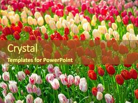 Theme having flowers tulips glade of red background and a tawny brown colored foreground.