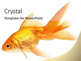 Presentation theme with gold fish isolation background and a white colored foreground