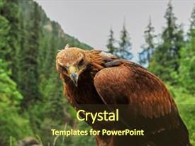 Presentation theme having golden eagle aquila chrysaetos the golden eagle is one of the best-known birds of prey in the northern hemisphere it is the most widely distributed species of eagle background and a tawny brown colored foreground.