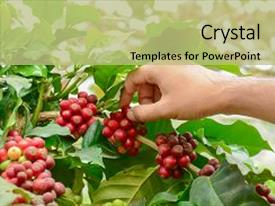 Cool new slide deck with hand picking red coffee beans backdrop and a mint green colored foreground.