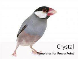 5000 java powerpoint templates w java themed backgrounds presentation theme having java sparrow in front background and a white colored foreground toneelgroepblik Choice Image