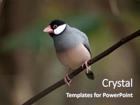 5000 java powerpoint templates w java themed backgrounds presentation having java sparrow lonchura oryzivora also background and a tawny brown colored foreground toneelgroepblik Choice Image