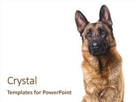 Theme enhanced with k9 police - german shepard isolated on white background and a cream colored foreground.