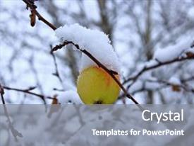 Slides having last green apple on a branch the apple on the tree in the snow lone apple hanging on a branch in autumn yellow apple in the snow apple in the cold green and yellow apple in the winter frozen apples in the snow background and a gray colored foreground.