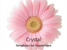 Amazing slide set having light pink gerbera flower isolated backdrop and a lemonade colored foreground