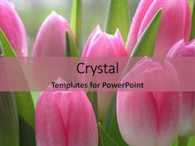 Theme featuring lots of pink tulips  background and a coral colored foreground.